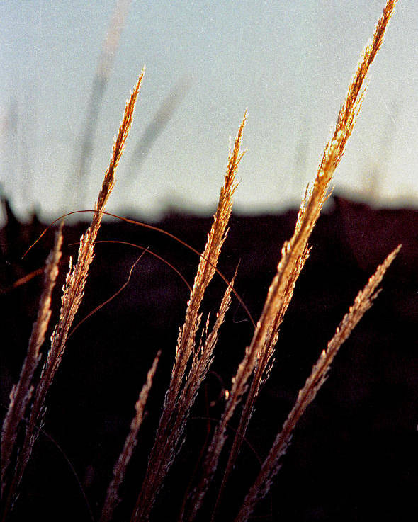 Grass Poster featuring the photograph Glistening Grass by Randy Oberg