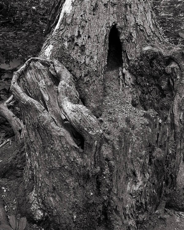 Tree Poster featuring the photograph Gnarly by Jason Wolters
