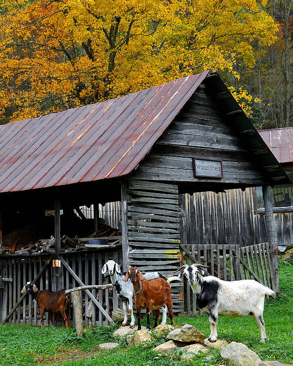 Farm Poster featuring the photograph Goats At Rose Briar Farm by Alan Lenk