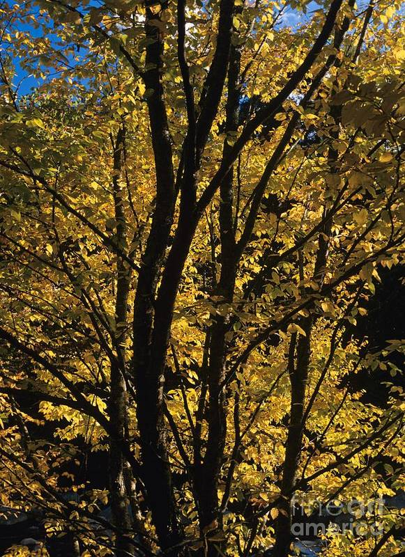 Autumn Poster featuring the photograph Golden Colors Of Autumn In New England by Erin Paul Donovan