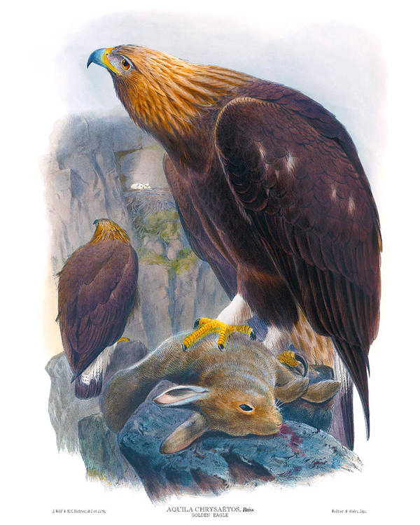 Golden Eagle Poster featuring the painting Golden Eagle Antique Print John Gould Birds Of Great Britain by Orchard Arts