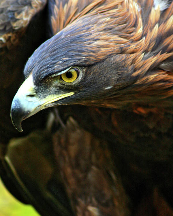 Golden Eagle Poster featuring the photograph Golden Eye by Scott Mahon