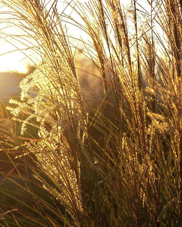 Golden Poster featuring the photograph Golden Grass In Sunset by Douglas Barnett