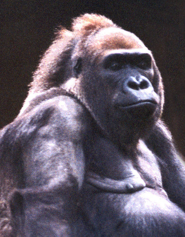 Gorilla Poster featuring the photograph Gorilla by Steve Karol