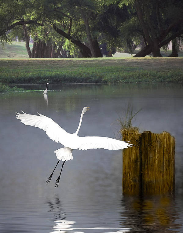 Egret Poster featuring the photograph Graceful by Cecil Fuselier