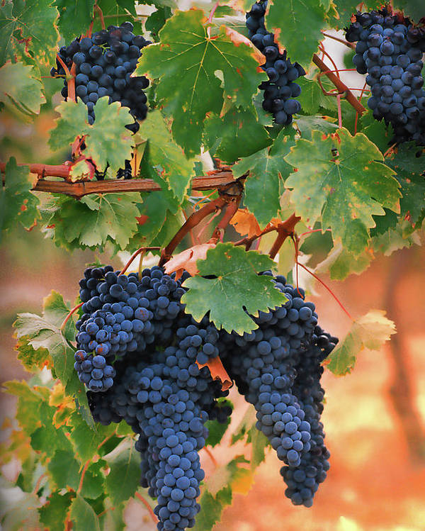 Grapes Poster featuring the photograph Grapes Of Tuscany by Dallas Clites