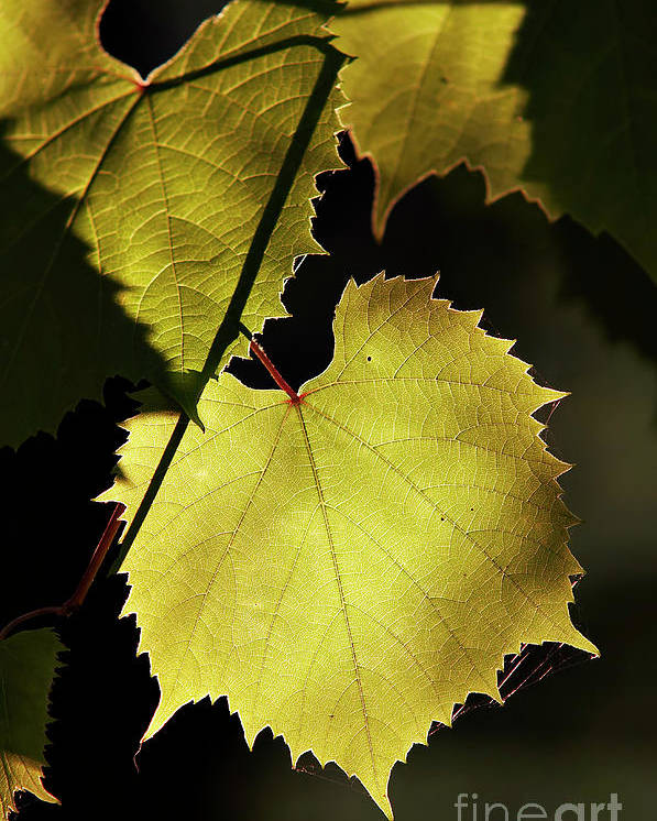 Grapevine Poster featuring the photograph Grapevine In The Back Lighting by Michal Boubin