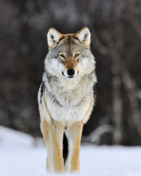 Mp Poster featuring the photograph Gray Wolf in the Snow by Jasper Doest