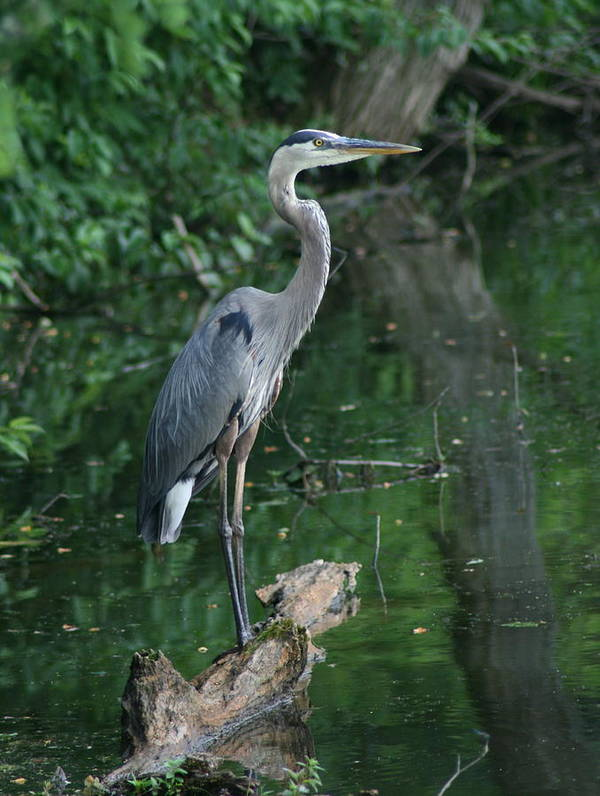 Landscape Water Bird Nature Wildlife Crane Great Blue Heron Poster featuring the photograph Great Blue Heron by Dawn Downour