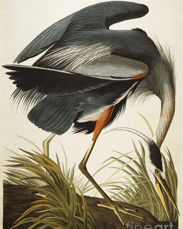 Great Blue Heron (ardea Herodias) Plate Ccxi From 'the Birds Of America' (aquatint & Engraving With Hand-colouring) By John James Audubon (1785-1851) Poster featuring the drawing Great Blue Heron by John James Audubon