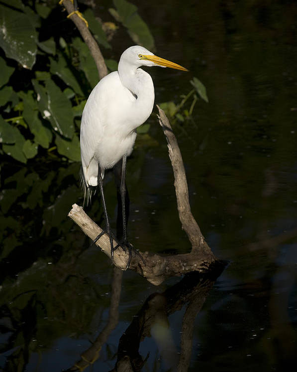 Great Egret Poster featuring the photograph Great Egret by Chad Davis