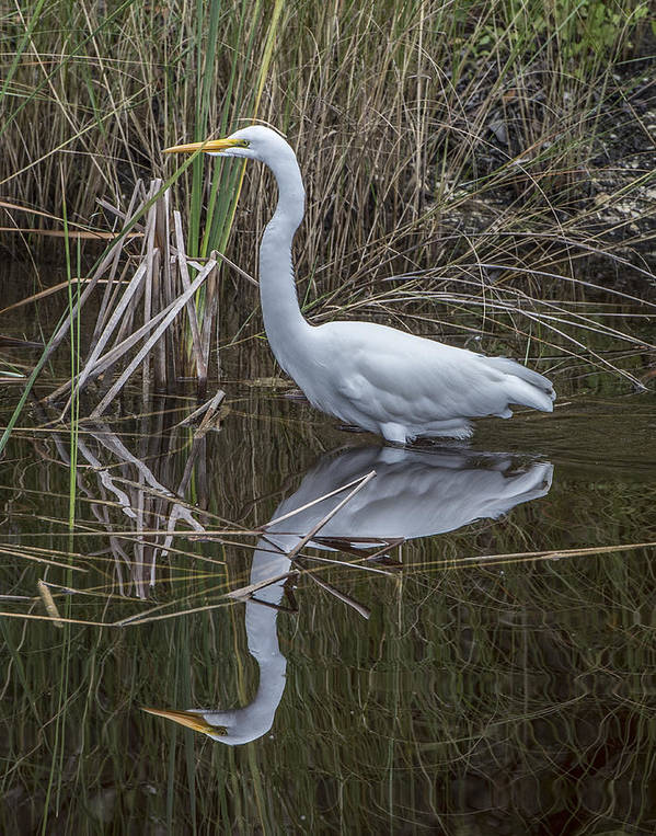 Bird Poster featuring the photograph Great Egret With Reflection by William Bitman