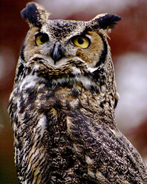 Rapture Poster featuring the photograph Great Horned Owl by Sonja Anderson