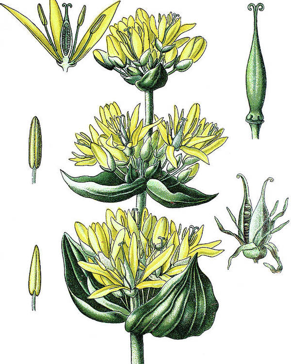 Great Yellow Gentian Poster featuring the drawing great yellow gentian, Gentiana lutea by Bildagentur-online