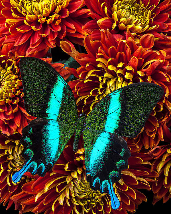 Red Yellow Spider Poster featuring the photograph Green Blue Butterfly by Garry Gay