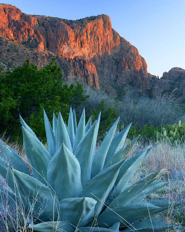 Texas Poster featuring the photograph Green Gulch Agave by Eric Foltz