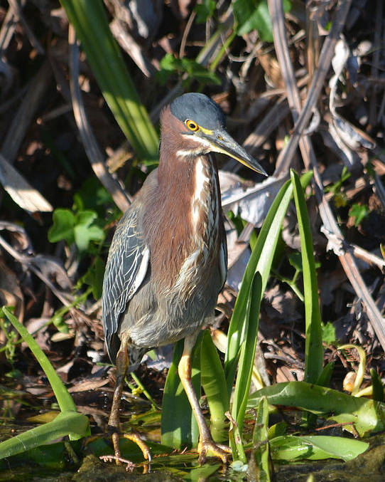 Green Heron Poster featuring the pyrography Green Heron Everglades by Sally Sperry