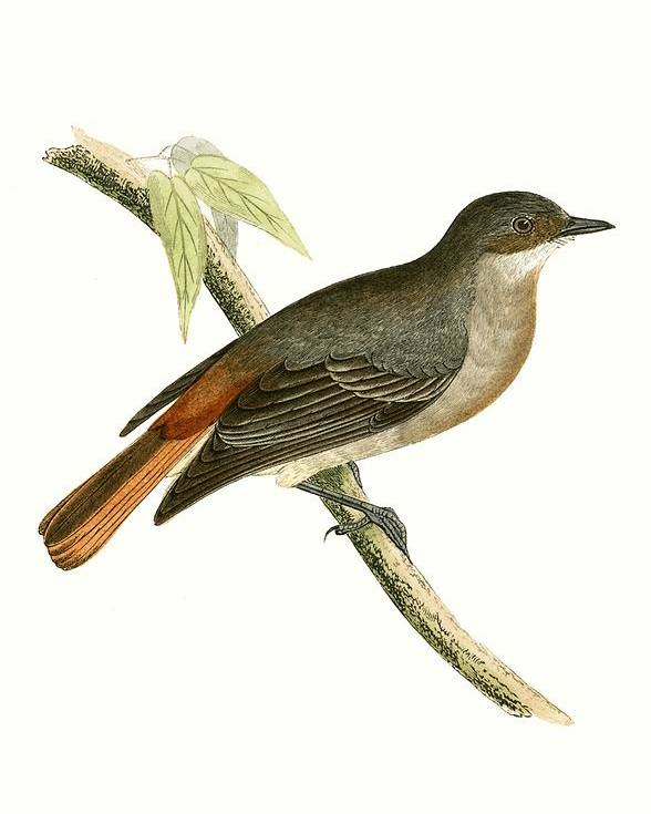 Bird Poster featuring the painting Grey Redstart by English School