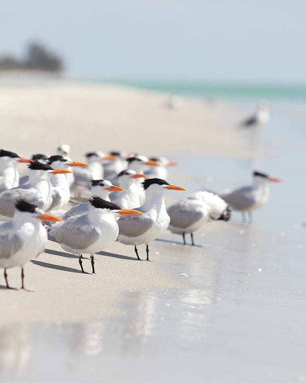 Vertical Poster featuring the photograph Group Of Terns On Sandy Beach by Angela Auclair