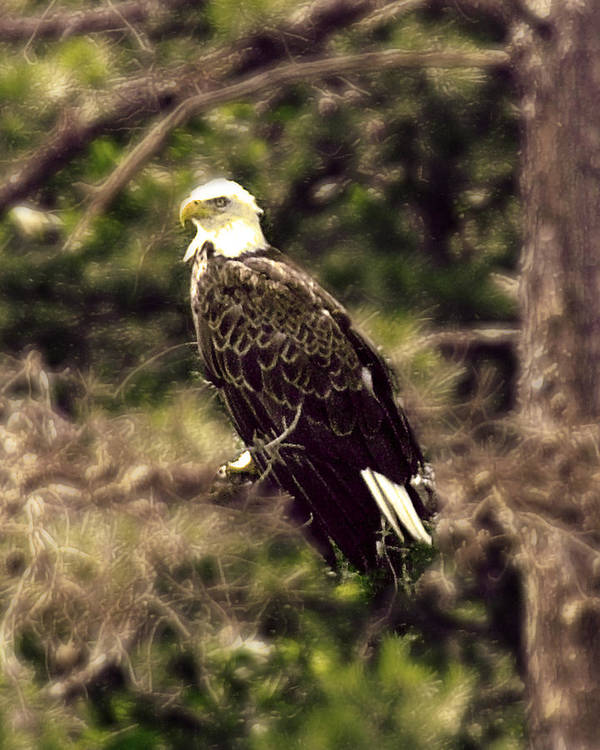 Eagle Poster featuring the photograph Guardian by Ken Gimmi