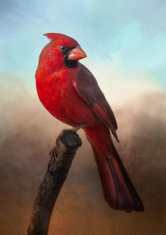 Cardinal Poster featuring the photograph Handsome Cardinal by Barbara Manis