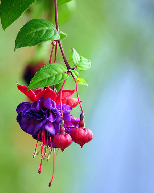 Hanging Gardens Poster featuring the photograph Hanging Gardens Fuschia by Laura Mountainspring