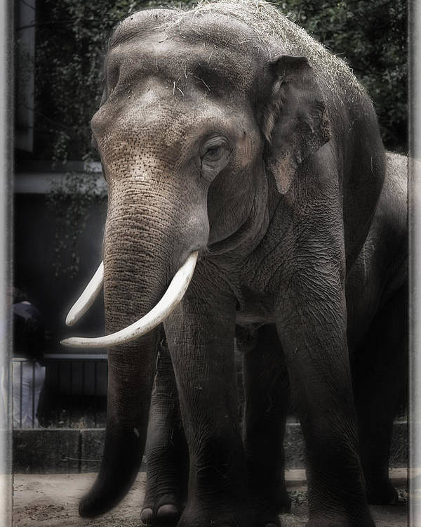 Elephant Poster featuring the photograph Hanging Out by Joan Carroll
