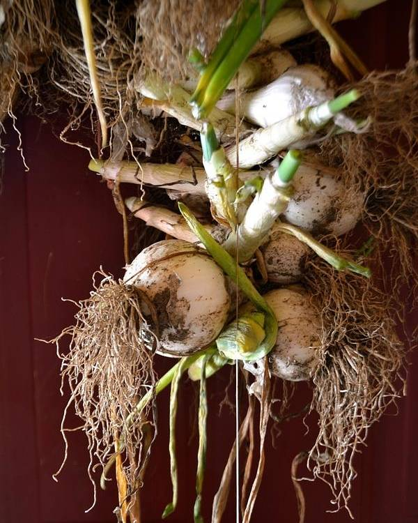 Onion Poster featuring the photograph Hanging Roots by Anna Lucas