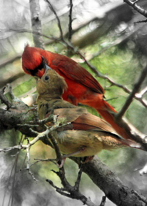 Cardinal Poster featuring the photograph Happy Fathers Day by Lisa Scott
