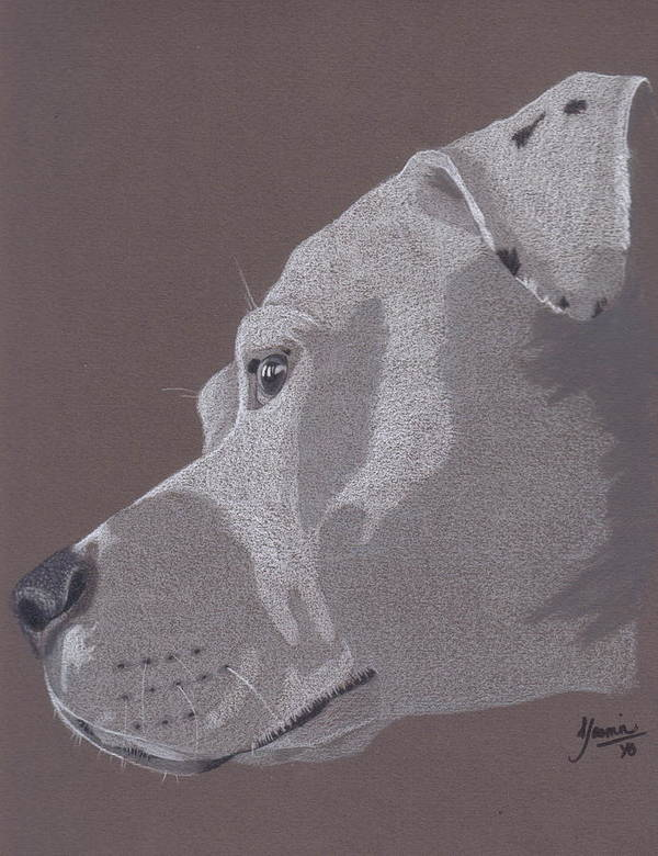 Pit Bull Poster featuring the drawing Harlo by Stacey Jasmin