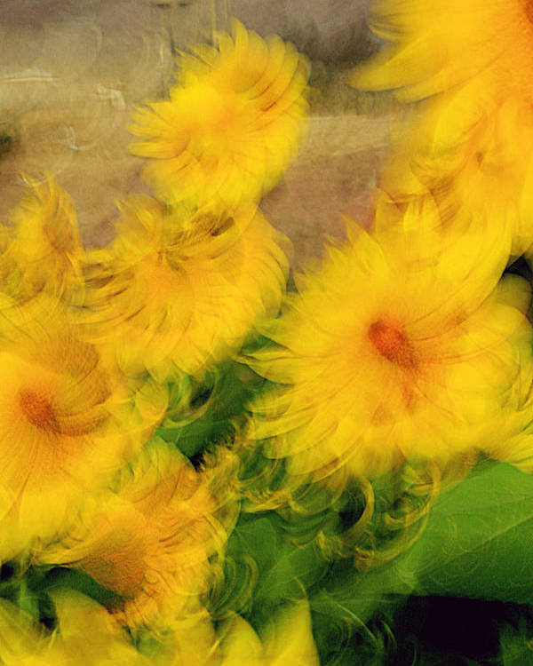 Sunflowers Poster featuring the photograph Harmony by Robert Shahbazi