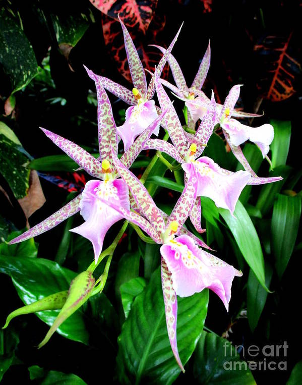Orchid Poster featuring the photograph Hawaiian Orchid 31 by Randall Weidner