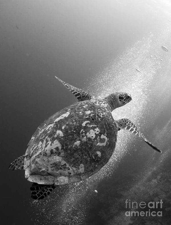 Cheloniidae Poster featuring the photograph Hawksbill Turtle Ascending by Steve Jones