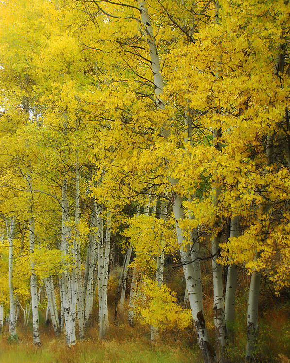 Birch Trees Poster featuring the photograph Heavenly Light by Donna Blackhall