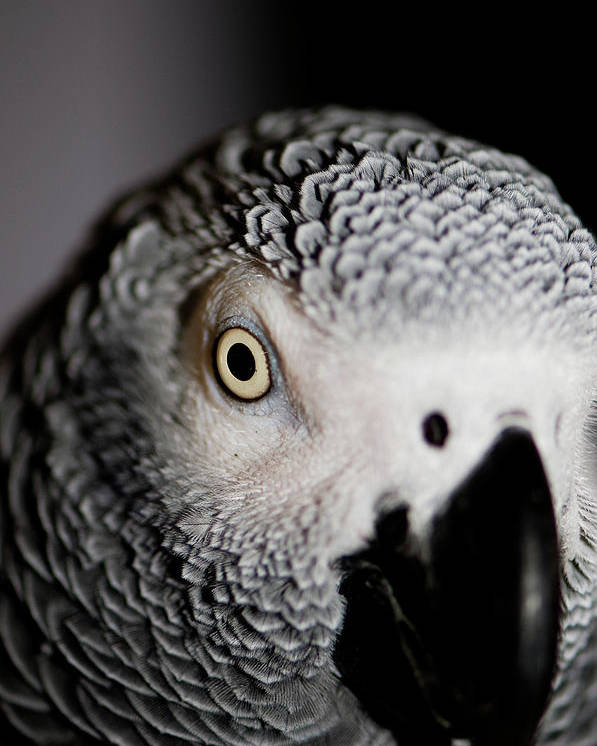 African Gray Parrot Poster featuring the photograph Heeere's Bogie by Betty LaRue