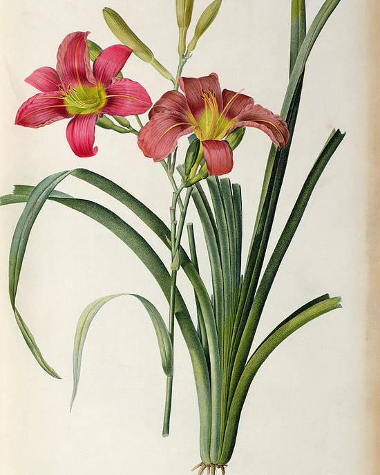 Hemerocallis Poster featuring the painting Hemerocallis Fulva by Pierre Joseph Redoute