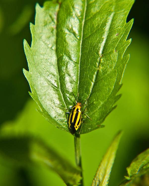 Hemiptera Poster featuring the photograph Hemiptroid Sucking Bug by Douglas Barnett