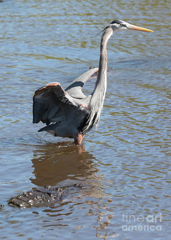 Gator Poster featuring the photograph Heron With Gator by Carol Groenen