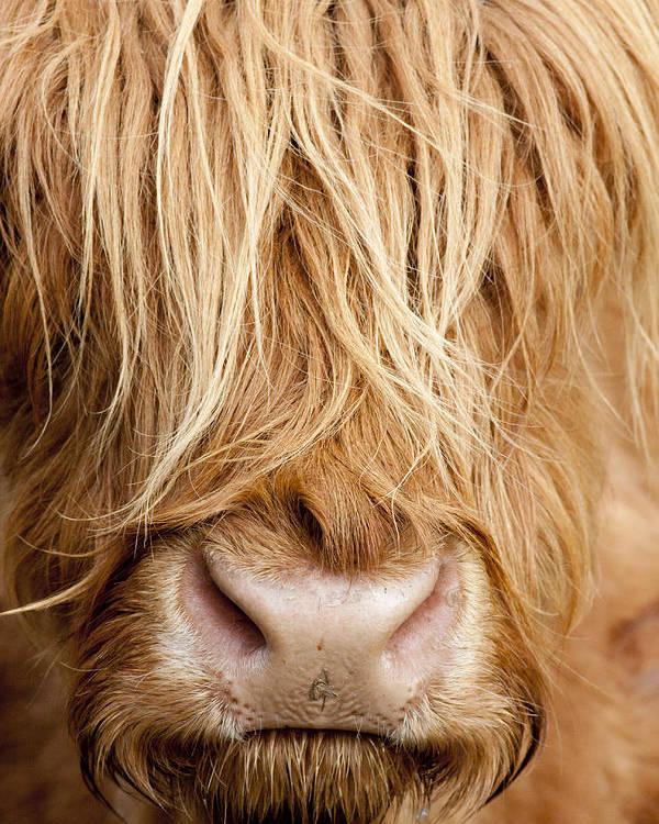 Highland Poster featuring the photograph Highland Cow by Karen Van Der Zijden