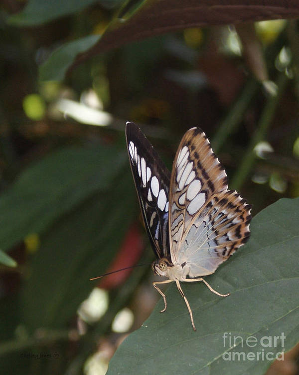 Butterfly Poster featuring the photograph Hints Of Blue by Shelley Jones