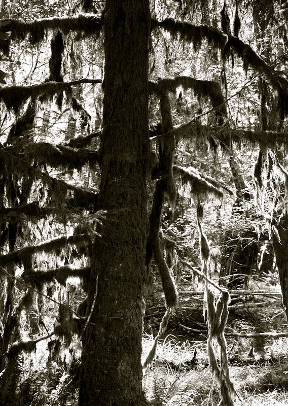 Nature Poster featuring the photograph Hoh Rain Forest by Sonja Anderson