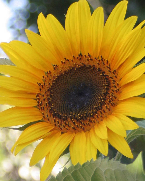 Sunflower Poster featuring the photograph Homegrown Sunflower by Melanie Rainey