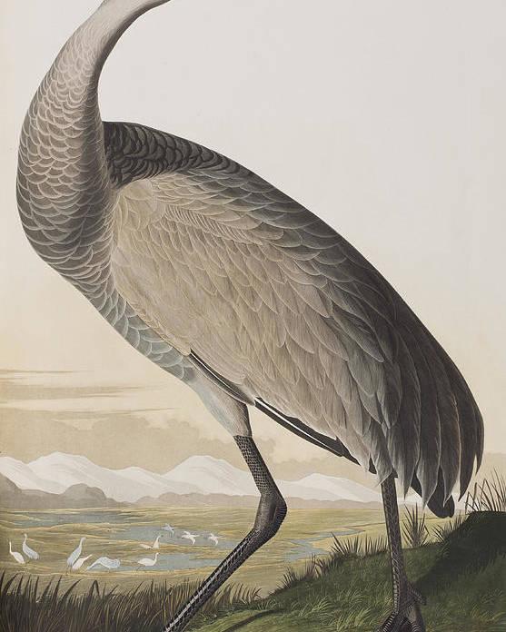 Hooping Crane Poster featuring the painting Hooping Crane by John James Audubon