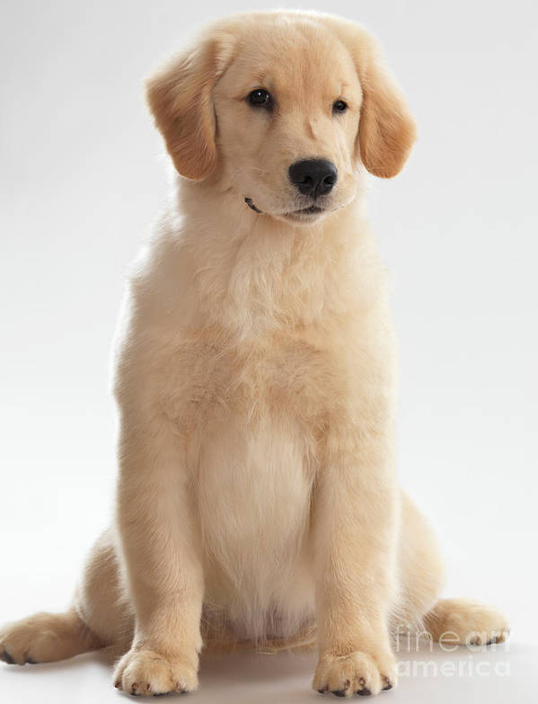 Golden Retriever Poster featuring the photograph Humorous Photo Of Golden Retriever Puppy by Oleksiy Maksymenko