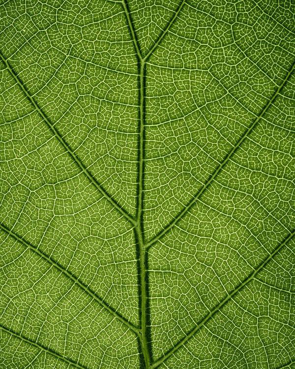 Gadomski Poster featuring the photograph Hydrangea Leaf by Steve Gadomski