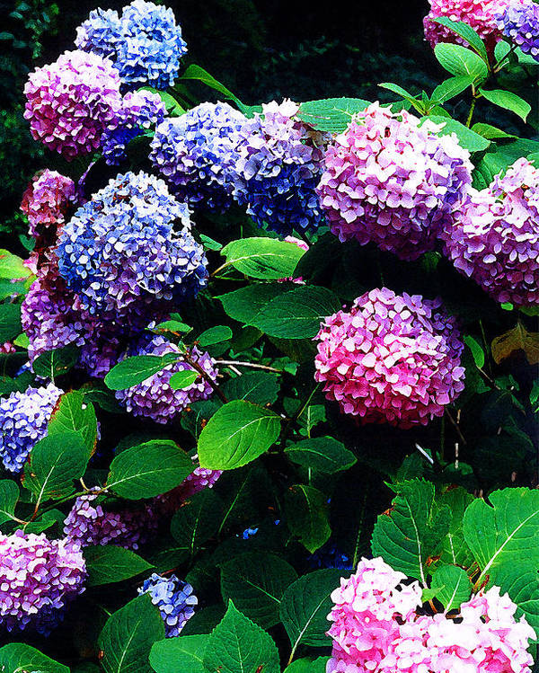 Flowers Poster featuring the photograph Hydrangeas by Nancy Mueller