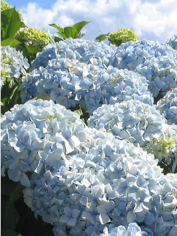 Blue Hydrangea Poster featuring the photograph Hydrangeas by Valerie Josi