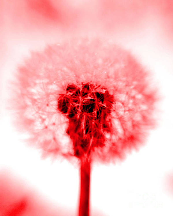 Dandelion Poster featuring the photograph I Wish In Red by Valerie Fuqua