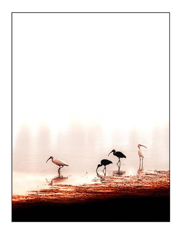 Ibis Poster featuring the photograph Ibis by Mal Bray