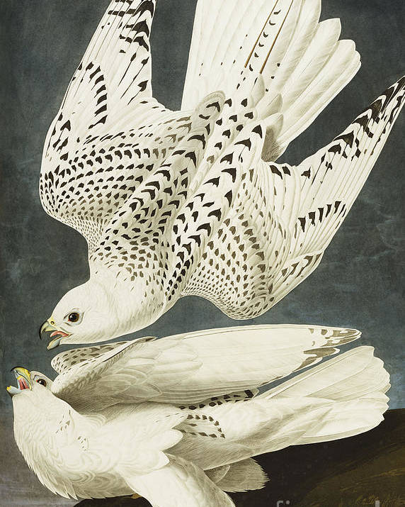 Iceland Or Jer Falcon. Gyrfalcon (falco Rustiocolis) From 'the Birds Of America' (aquatint & Engraving With Hand-colouring) By John James Audubon (1785-1851) Poster featuring the drawing Iceland Or Jer Falcon by John James Audubon